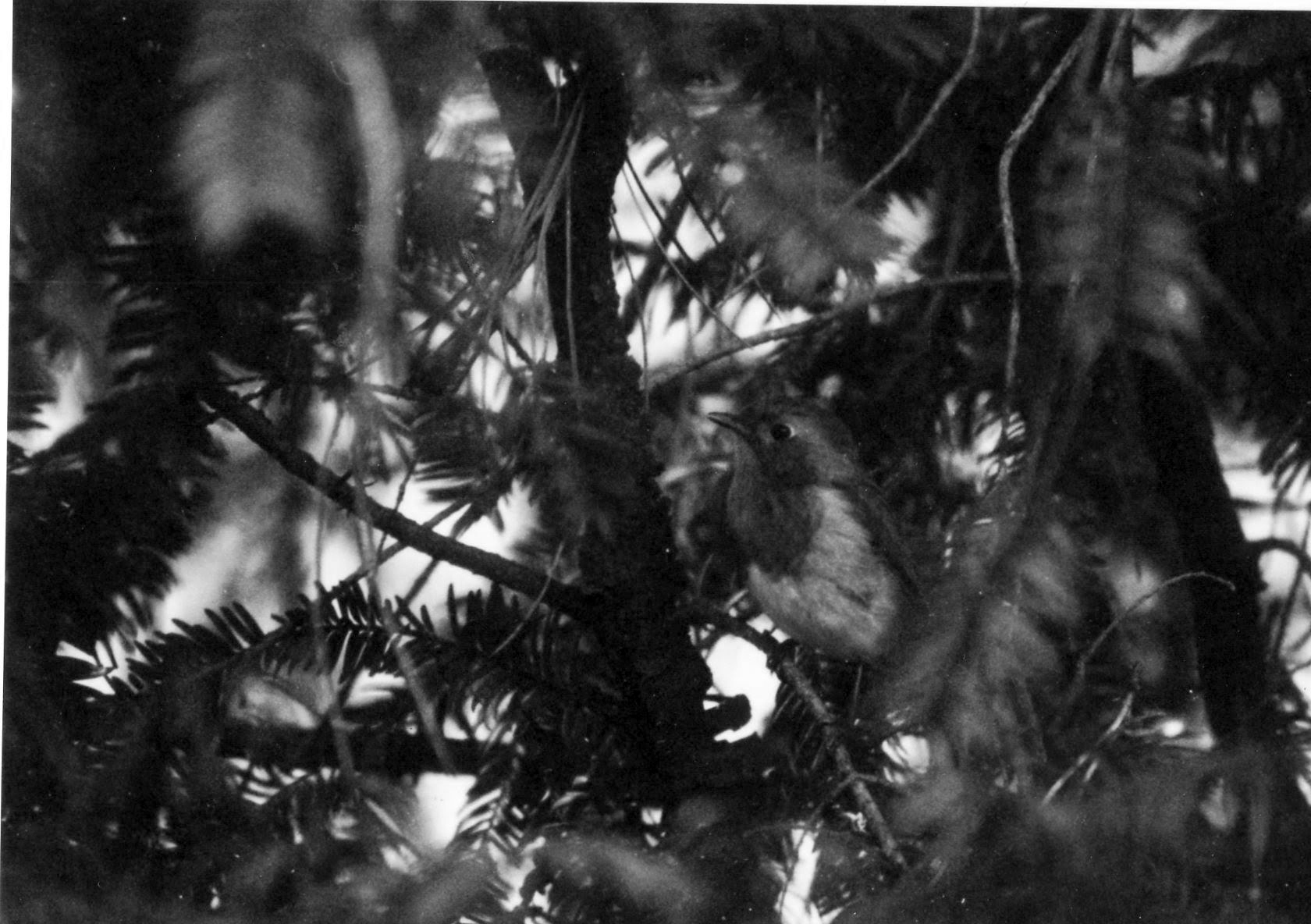 Little bird sits on a branch of a fir tree. Leaves both in the background and the foreground.