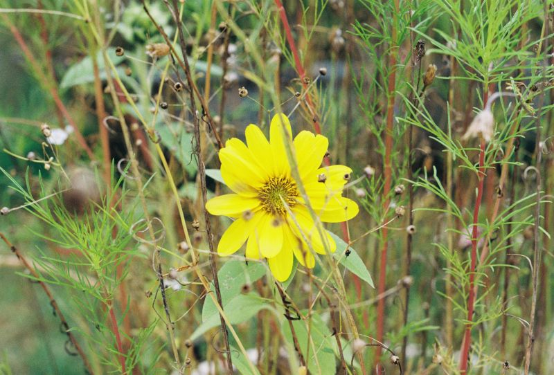 A big yellow flower surrounded by different muted green colored grasses.