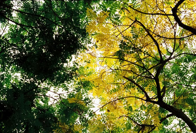 A photograph of through tree tops that are intensly coloured in greens and yellows.