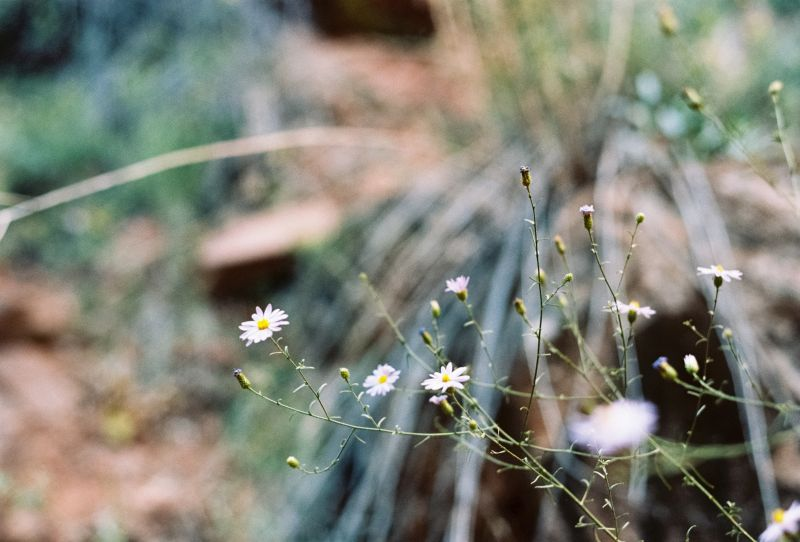 Small white-lavender blooming flower in the foreground and blurry red-stoney background.