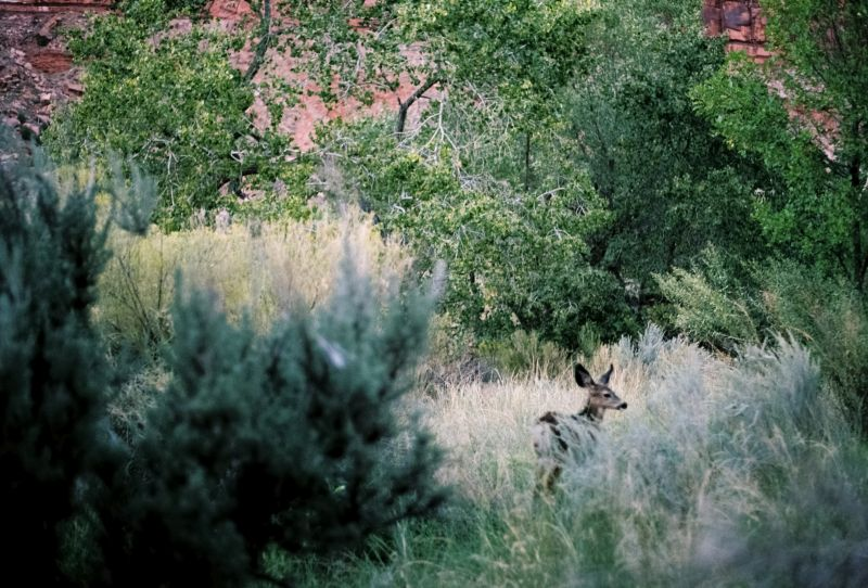 A doe hiding in tealy high grass and trees.