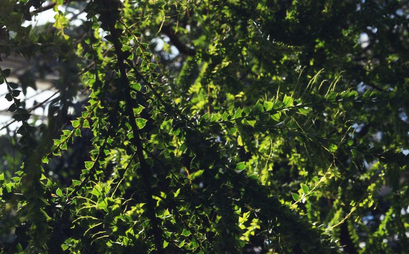 The photo is shot through thorny smallish green leaves. Light shines through those leaves.