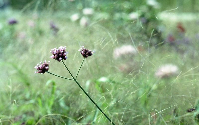 Macro shot from a grassy field and a little purplish flower in focus.