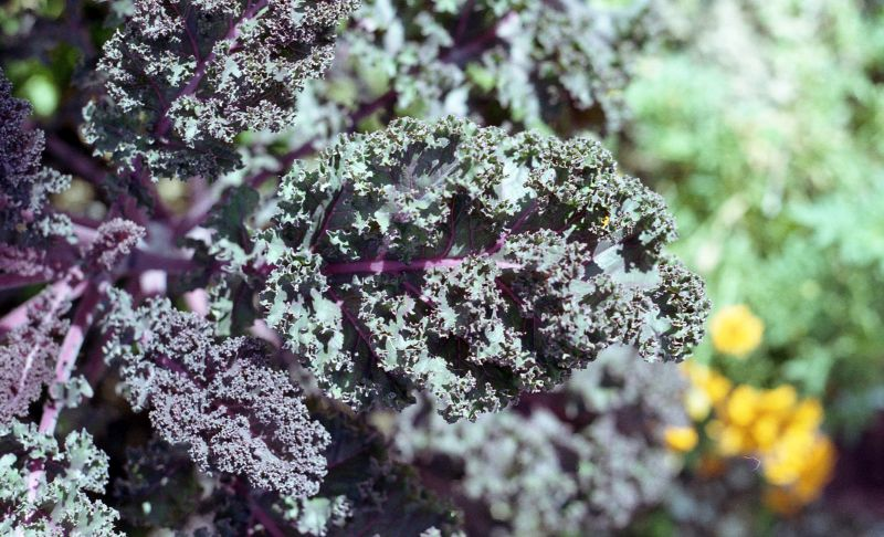 Macro shot of a kale-like leafy abstract patterned plant which colors range from purple to green.