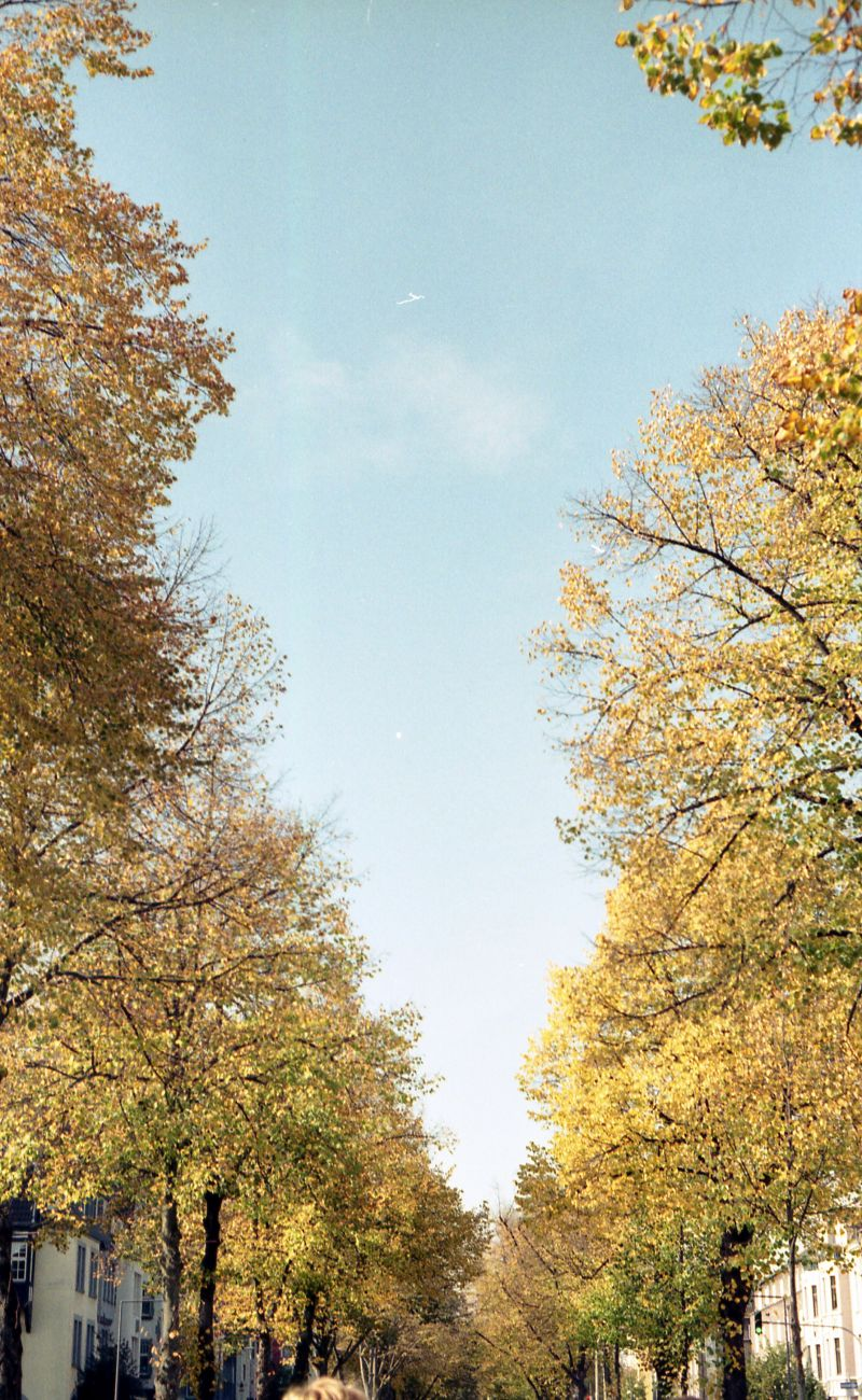 An alley full of yellow-leaved trees.