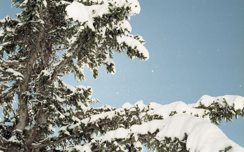 A snow covered pine tree.